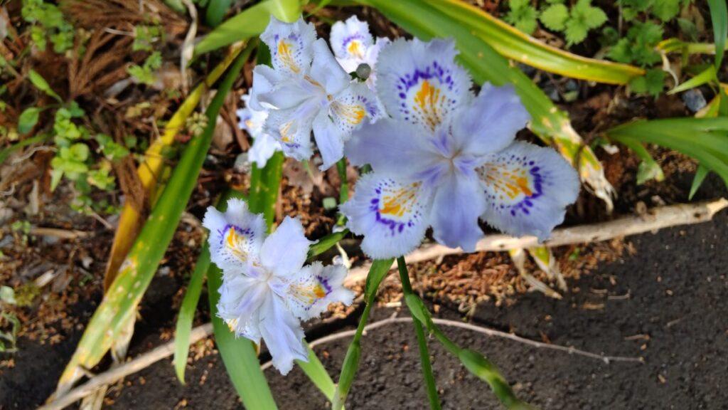 浦山口駅への道端に咲くシャガの花