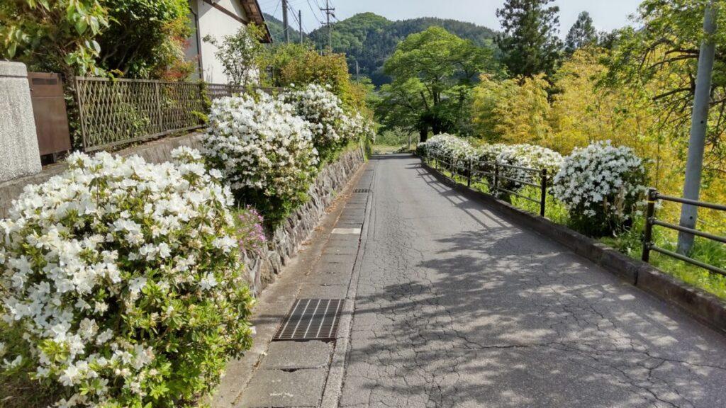 白いツツジが咲き誇る車道
