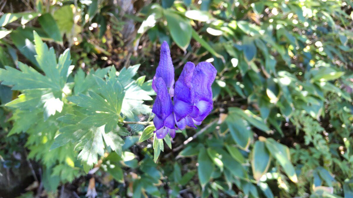 登山道脇に咲くトリカブトの花