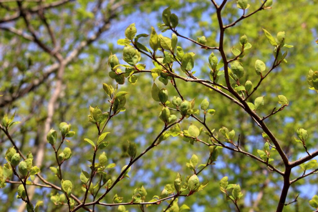 妻坂峠の新芽の木々