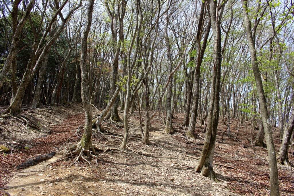 妻坂峠から大持山への急登