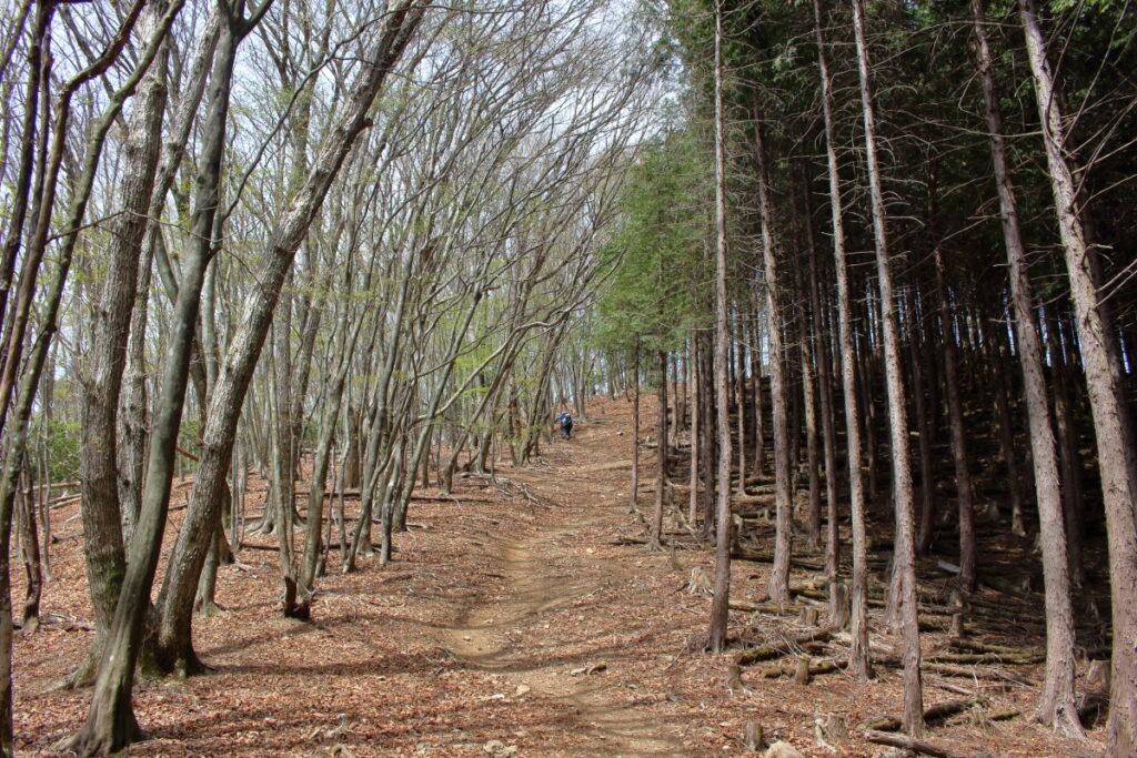 妻坂峠から大持山への登山道