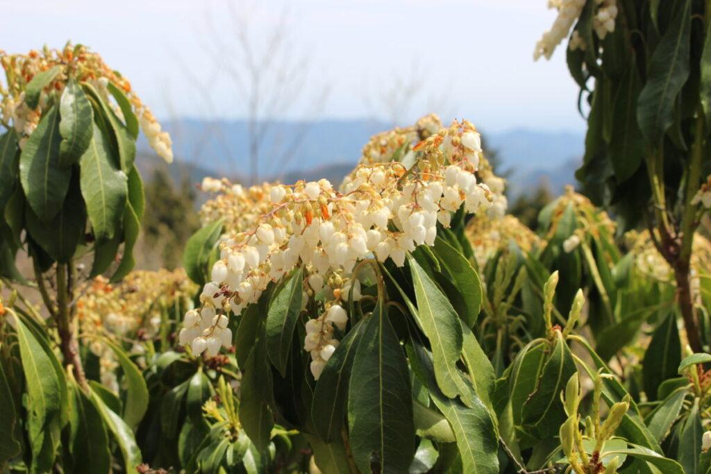 大持山の肩に咲くアセビの花
