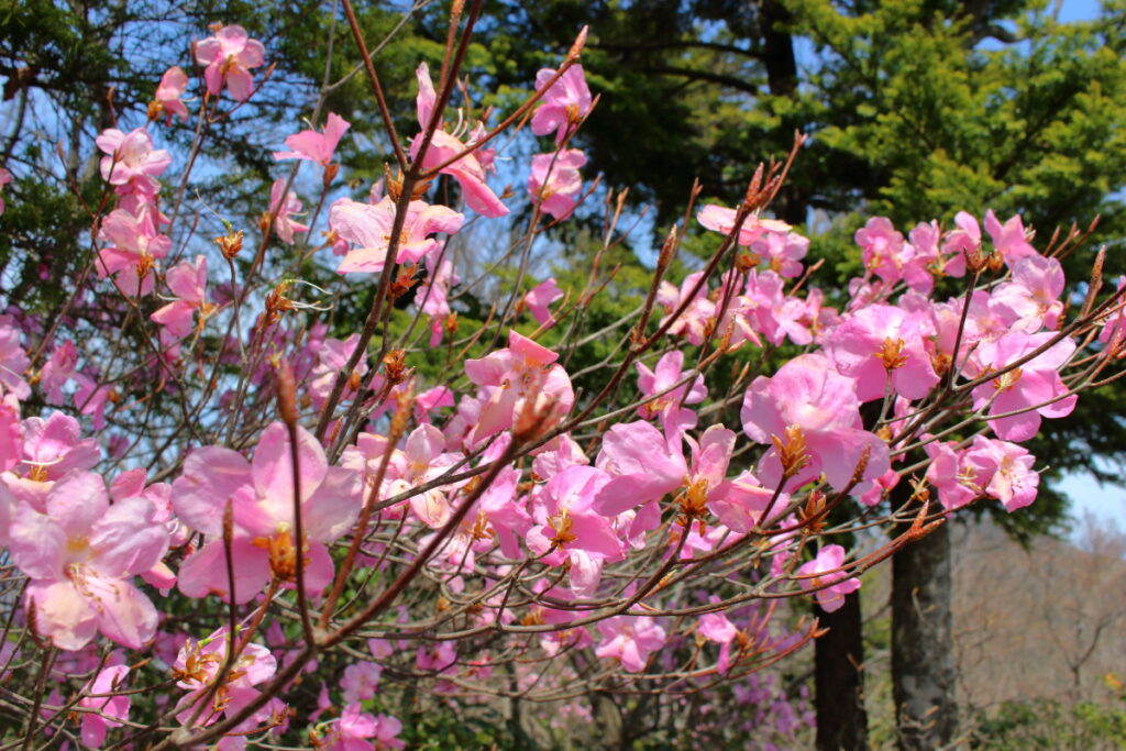 大持山から小持山への尾根道に咲くミツバツツジ