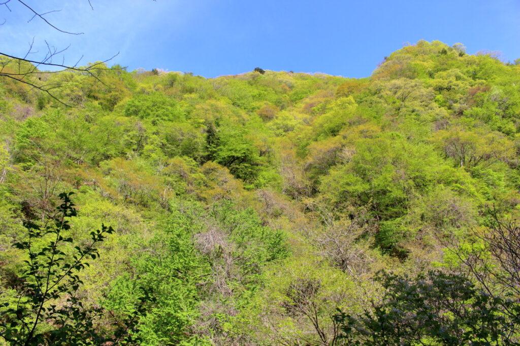 橋立川対岸の山の新緑