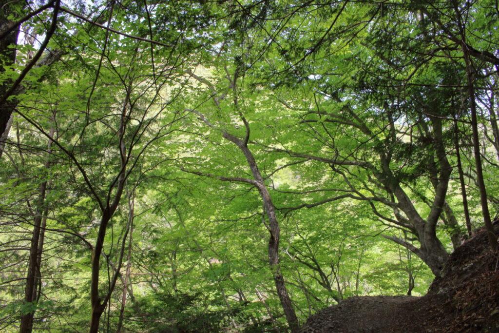 新緑に覆われた登山道