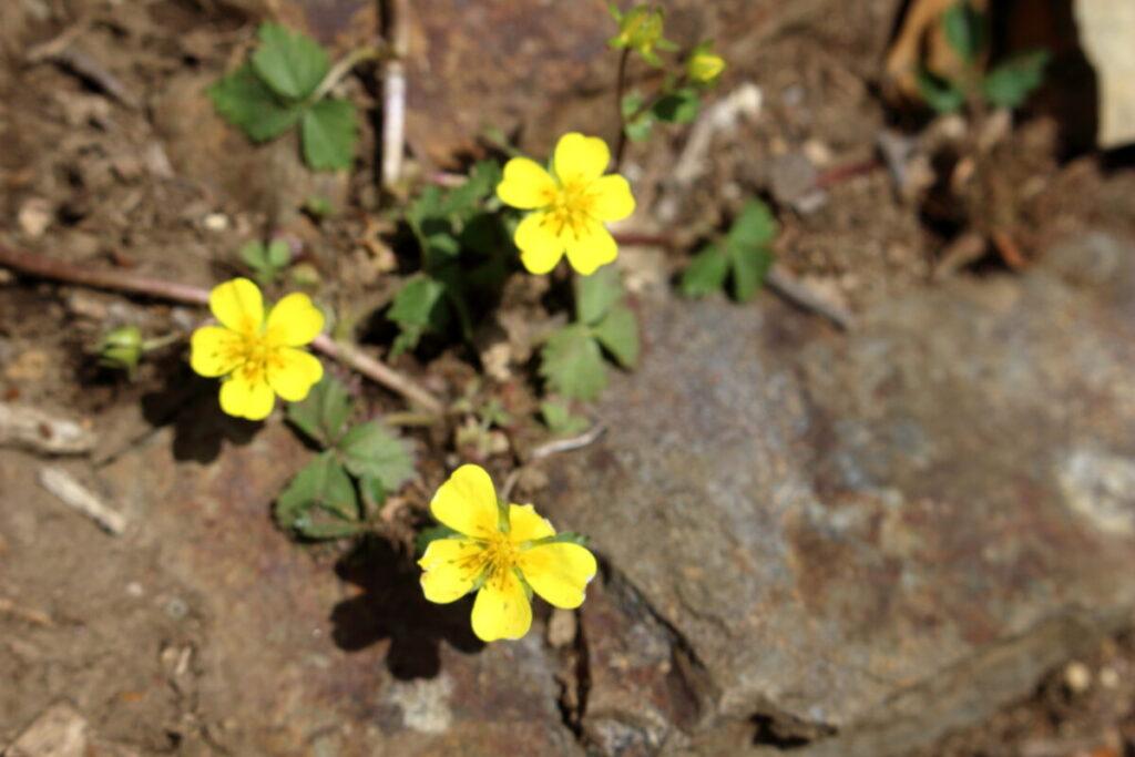 登山道の脇に咲く花