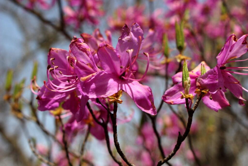 山の斜面に咲くヤマツツジ