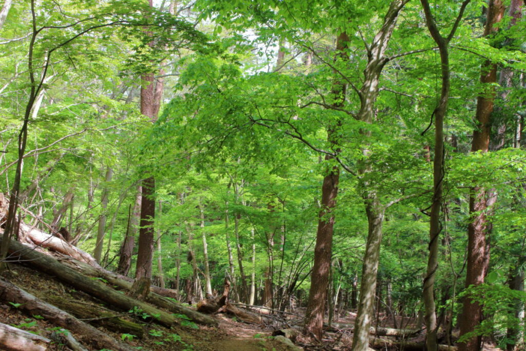 新緑が鮮やかな登山道