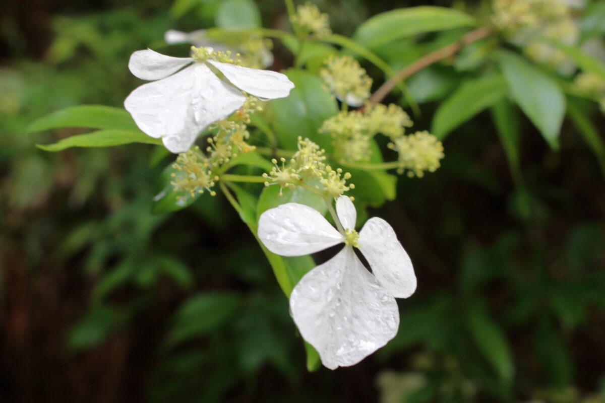 沢沿いにたくさん咲いていたヤマアジサイの花