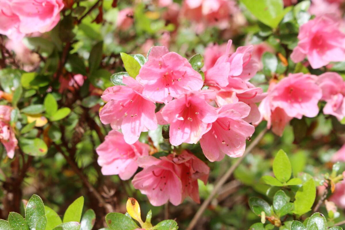 高水山常福院に咲くツツジ