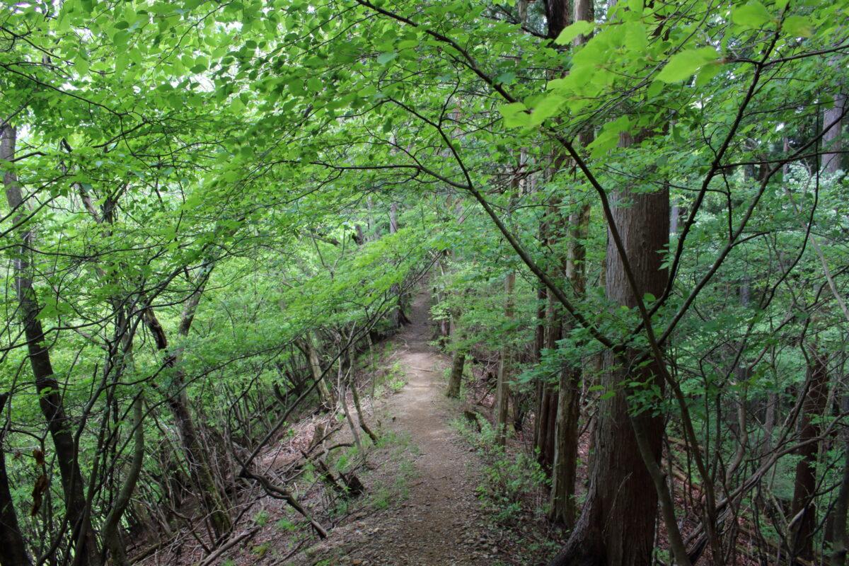棒ノ折山への縦走路にある新緑の尾根道
