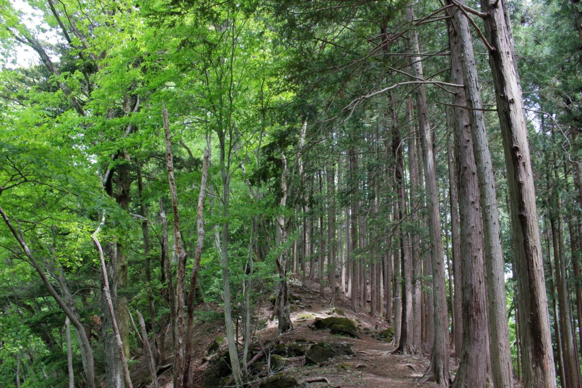 広葉樹と針葉樹の境目の尾根道