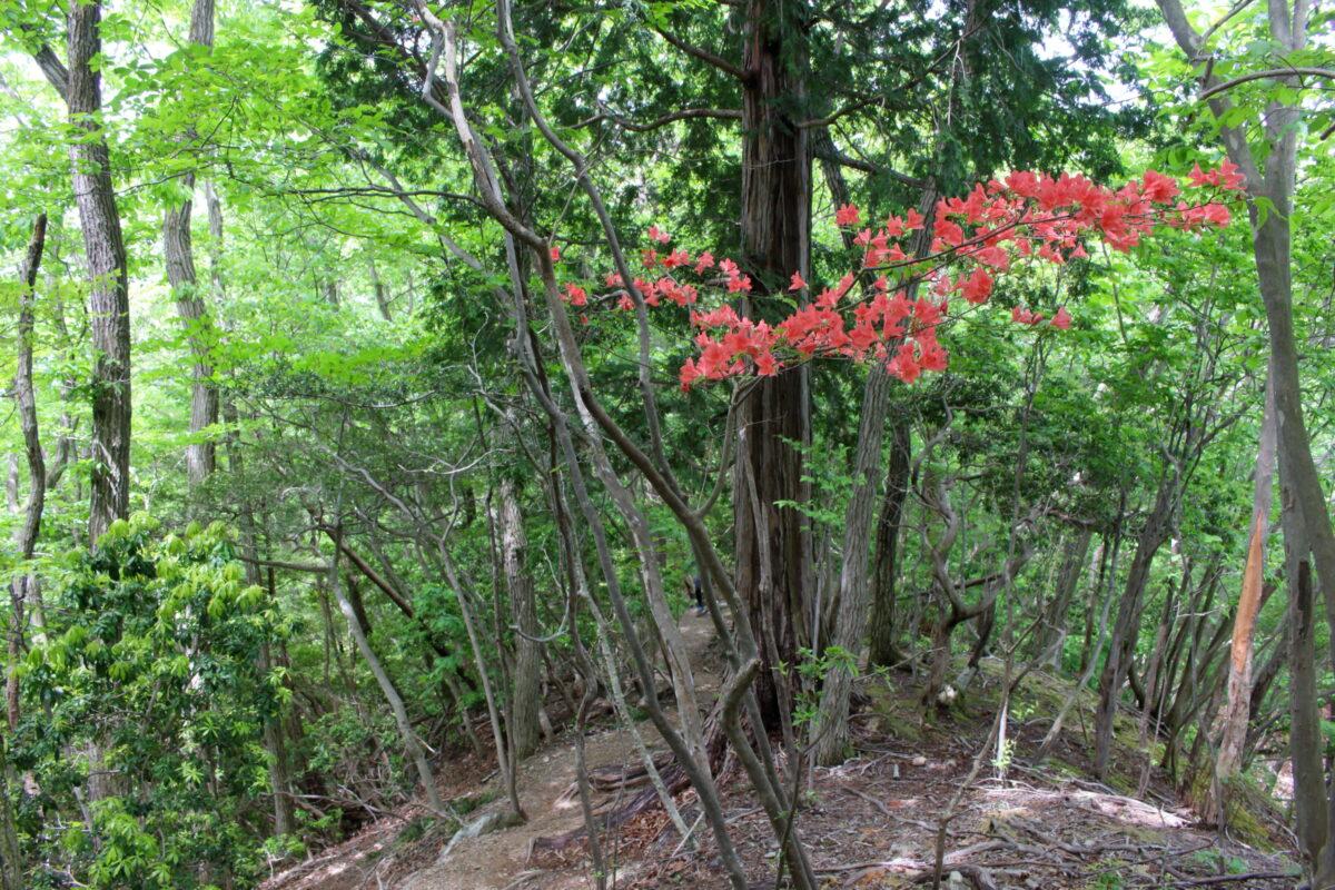 山の斜面に咲くツツジ
