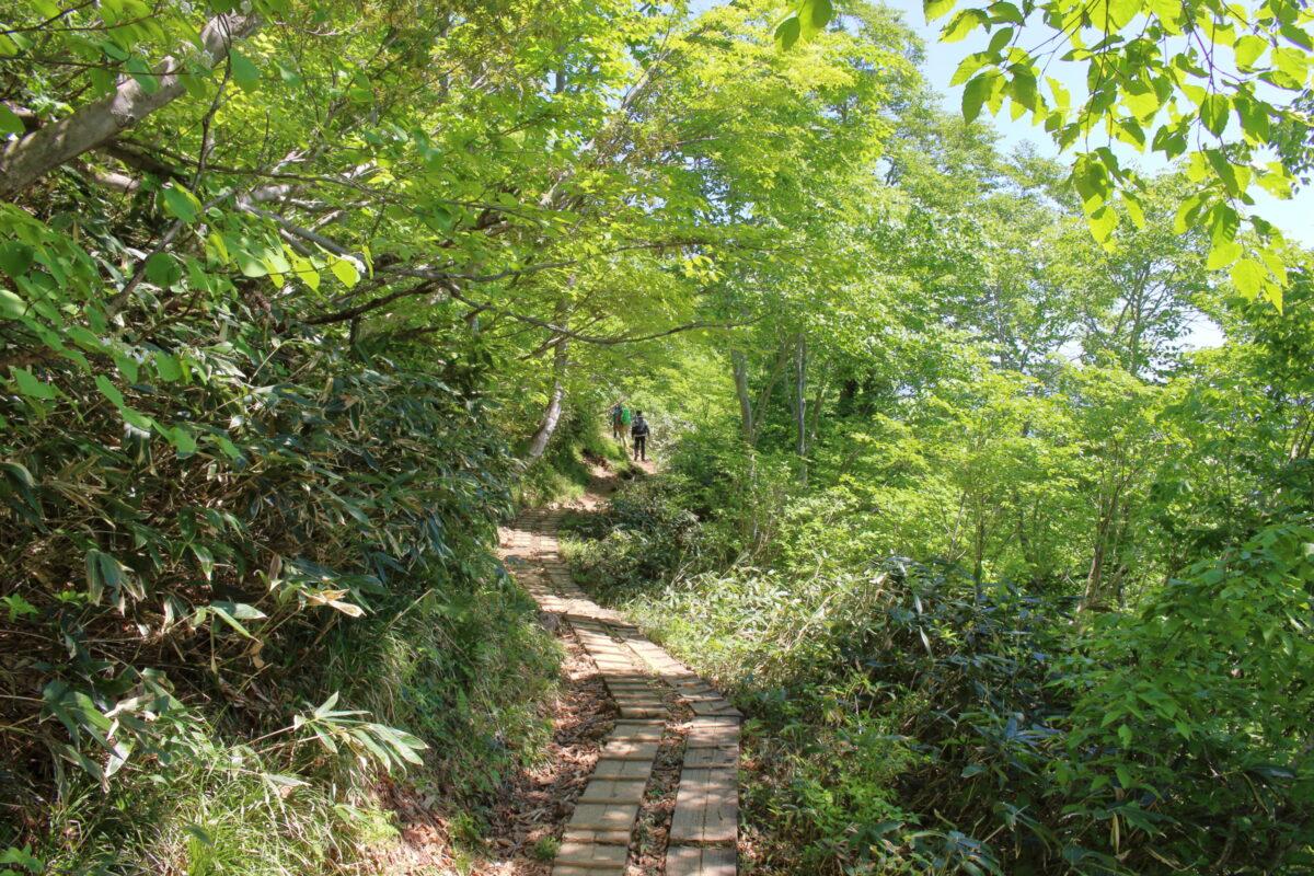 新緑が美しい天神尾根コースの樹林帯