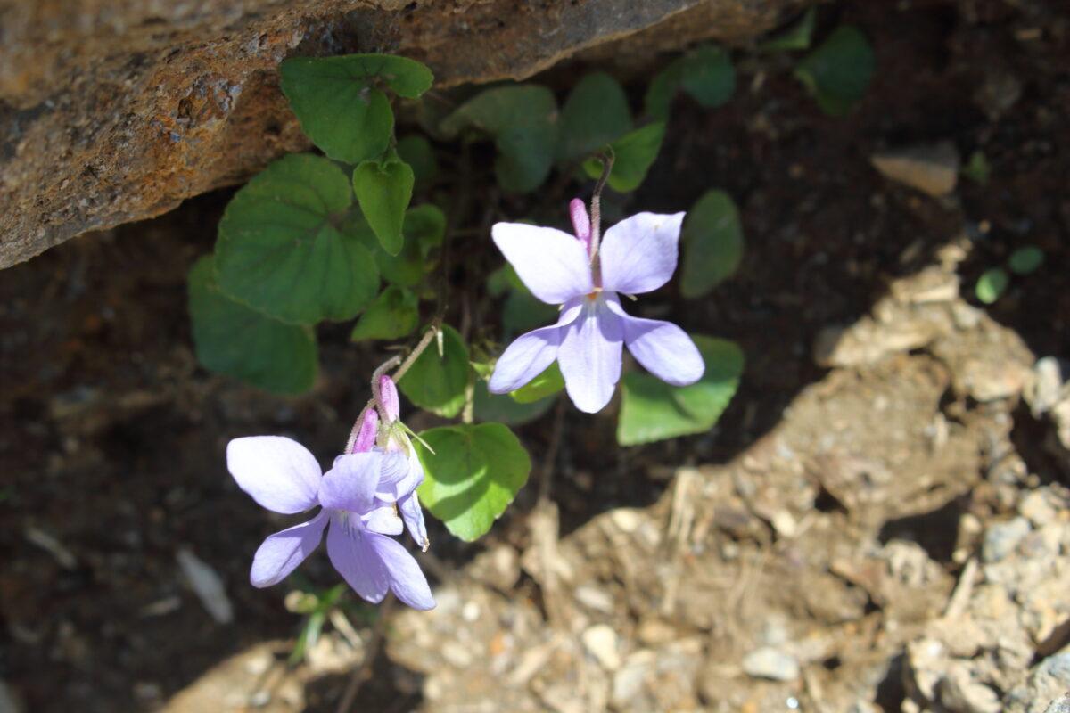 天神尾根コースの岩陰に咲くミヤマスミレの花