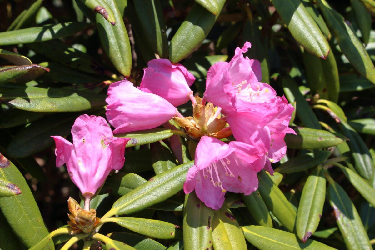オキノ耳~トマノ耳の稜線に咲くシャクナゲの花