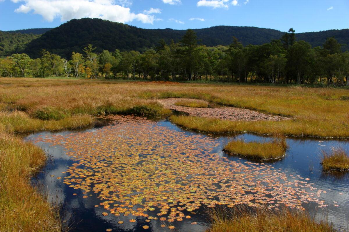 尾瀬ヶ原の池塘に浮かぶヒツジグサ